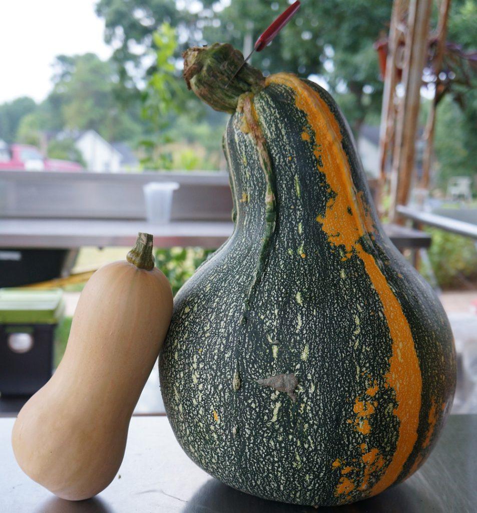 Volunteer Gourd